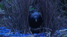 Satin Bowerbird Performs Maintenance On Bower
