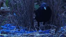 Satin Bowerbird Performs Maintenance On Bower