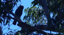 A Cockatoo Enjoys A Perch On A Tall Gum Tree