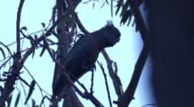 A Female Gang-Gang Cockatoo Climbs Up A Branch