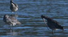 Eastern Curlews Gather In The Shallows