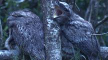 Well Camouflaged Nocturnal Tawny Frogmouths On A Branch