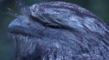 The Tawny Frogmouth Observes Through Its Slit Eye