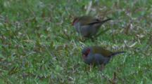 Red-Browed Finches Forage On Grass