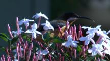 A Male Eastern Spinebill Forages On A Jasmine Shrub