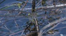 The Female Dragonfly (Below) Attaches Eggs To Submerged Plants