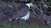 A Masked Lapwing Preens Its Plumage