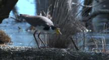 A Masked Lapwing Looks For Food Near A Lakeside