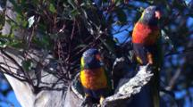 Two Lorikeets Fly Off Their Nest Hole In A Tree