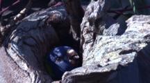 A Lorikeet Chick Has A Peep Out Of Its Nest Hole