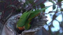 A Lorikeet Slips Into Its Nest Cavity On A Gum Tree