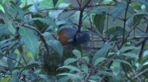 A Black-Faced Monarch Works On A Nest In Dense Undergrowth