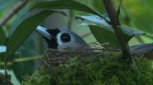A Black-Faced Monarch Incubates In Its Moss-Covered Nest