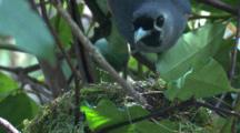 A Black-Faced Monarch Arrives At Its Nest And Settles Down