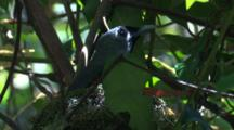 A Black-Faced Monarch Observes While Parenting In Its Nest