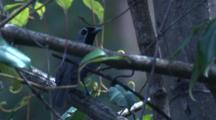 A Black-Faced Monarch Forages And Calls In A Rainforest