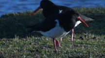 Oystercatchers Sometimes Forage On Grass