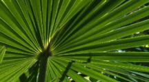 A Frond Of A Cabbage Palm Moves In The Wind