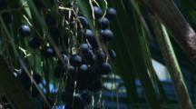 Fruits Of The Cabbage Palm In A Rainforest Pocket