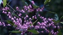 Blueberry Ash Flowers In Early Summer