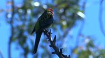 An Eastern Rosella Pauses On A Wind-Blown Perch And Flies Off