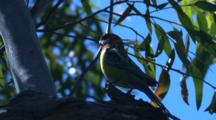 An Eastern Rosella Pauses On A Gum Tree Branch