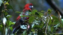 A Crimson Rosella Pauses On A Bush And Observes