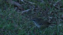 A White-Browed Scrubwren Searches For Insects On Grass