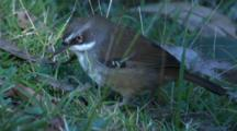 A White-Browed Scrubwren Forages On Grass