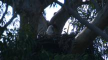 Sea-Eagles Nest On An Extremely Tall Gum Tree