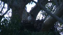 A Sea-Eagle's Nest On An Extremely Tall Gum Tree