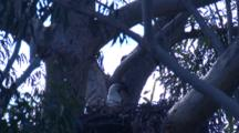 A Sea-Eagle's Nest In The Fork Of A Very Tall Gum Tree