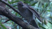 A Grey Shrike-Thrush Preens And Flies Off A Branch
