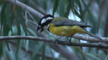 A Crested Shrike-Tit Feeds On A High Branch In The Wind