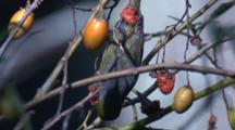 A Grey-Backed Silvereye Feeds On Kangaroo Apple