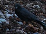 An Australian Raven Forages Among Debris On A Stony Beach