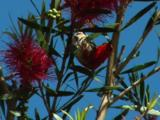 A Scarlet Honeyeater Feeds On Bottlebrush