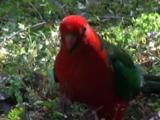 A King-Parrot Looks For Flower Buds On The Ground