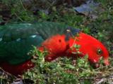 A King-Parrot Eats Flower Buds On The Ground