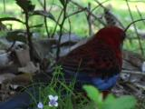 A Crimson Rosella Looks For Food On The Ground