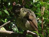 A Female Bowerbird Preens, Perched In A Bush