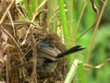 A Fairy-Wren Male Attends To The Chicks In The Nest