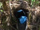 Hungry Fairy-Wren Chicks Receive Food Drops In The Nest