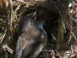 A Fairy-Wren Female Feeds The Chicks At The Nest