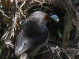 A Fairy-Wren Feeds Chicks And Removes Facal Sac