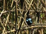 A Fairy-Wren Clan Watch Every Move Of The Fledged Chicks
