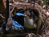 A Fairy-Wren Adult And A Chick Collide At The Nest Entrance