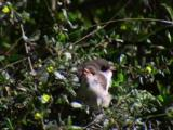 A Pair Of Young Fairy-Wrens On A Bush Call Their Parents