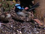 Young Fairy-Wrens Receive Food Drops By Their Parents