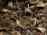 Young Fairy-Wrens Wait For Food Drops By Their Parents